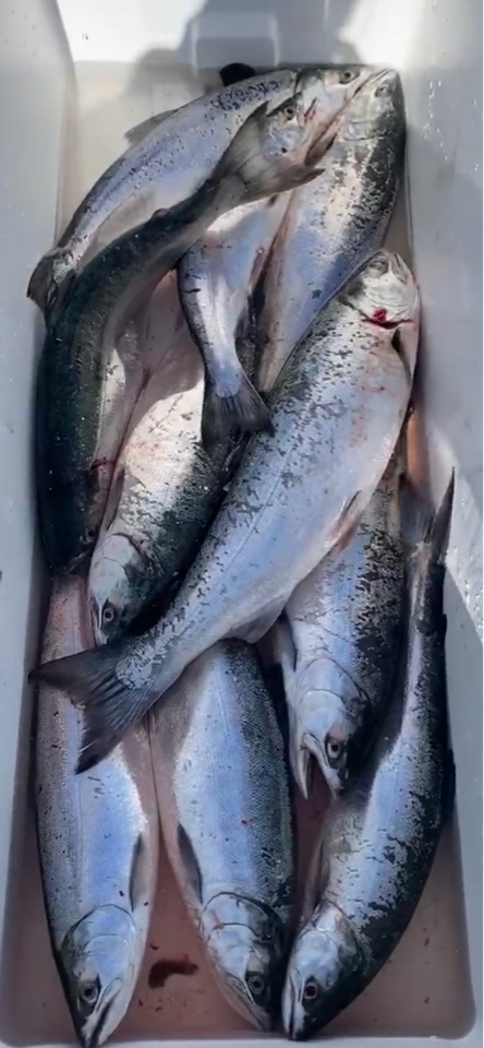 Salmon Caught On Lake Michigan - All Anglers Charter Service