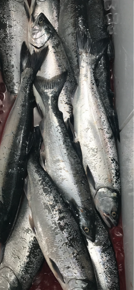 Coho Salmon Caught On Lake Michigan - All Anglers Charter Service